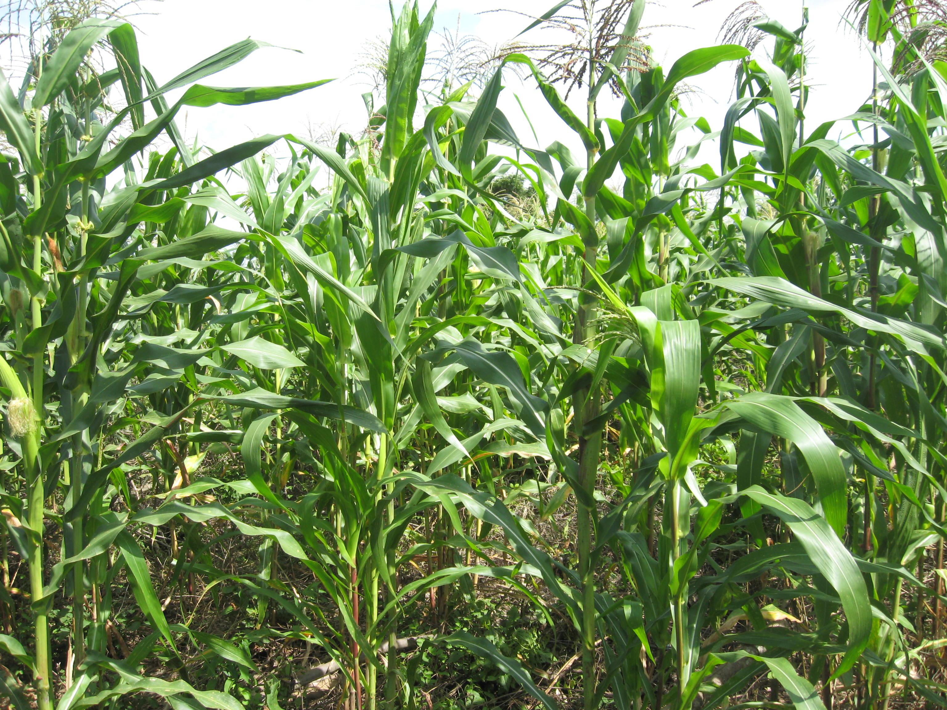 Tezonapa page 4 for Sembrar maiz y frijol juntos